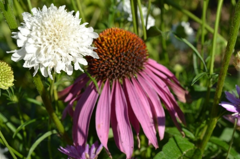 Scabiosa atropurpurea white et Echinacea purpurea