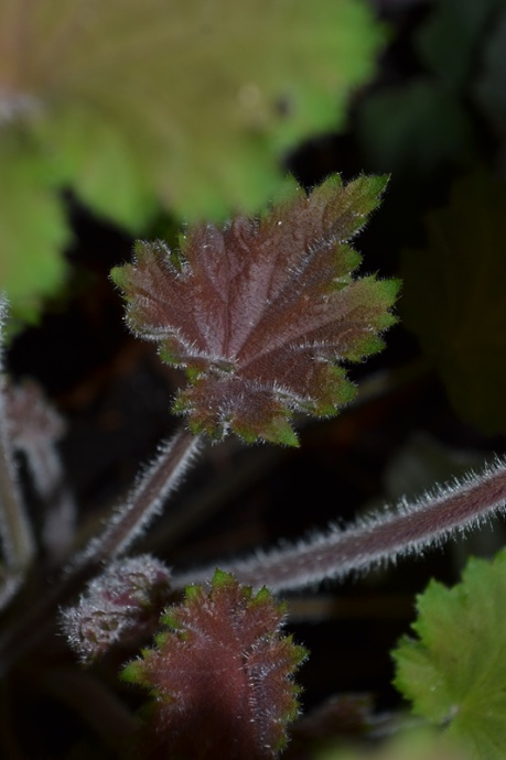 Heuchera 'Bronze Beauty'