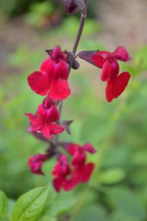 Salvia 'Sylas Dison'