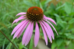 Echinacea 'Leuchstern'